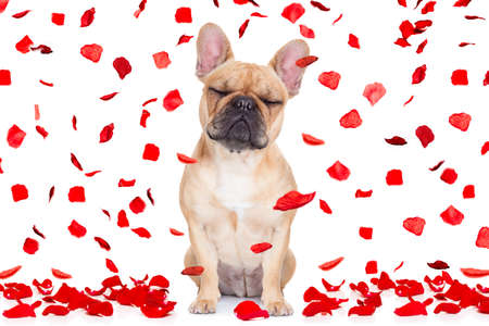 air: fawn french bulldog with closed eyes sitting and resting on white isolated background on valentines day in love , full of red rose petals Stock Photo