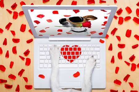 happy holidays: dog office worker in  love on happy valentines day,  typing in a  pc computer laptop,  isolated on desk  background,full of red rose petals,dating online on a chat