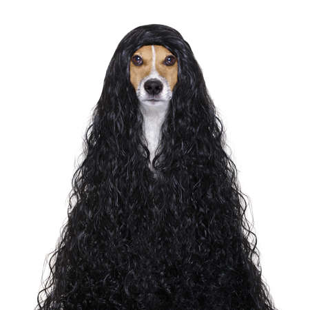 dog grooming: hairdresser dog ready to look beautiful by comb, scissors, dryer, and spray at the wellness spa salon, isolated on white background with very long hair Stock Photo