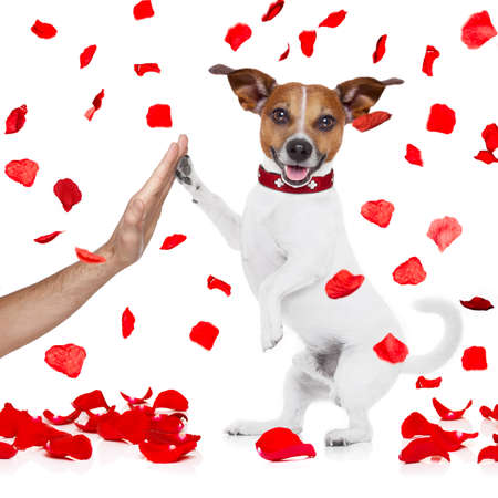 white: jack russell dog crazy and silly in love   on valentines day , isolated on white background , high five paw with owner hand Stock Photo