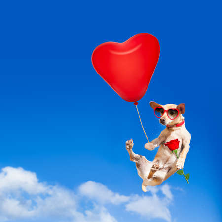 chihuahua dog in love  hanging on balloon, flying and gliding in the sky in the air, while being cool with valentines day rose and balloon wearing red funny heart sunglasses