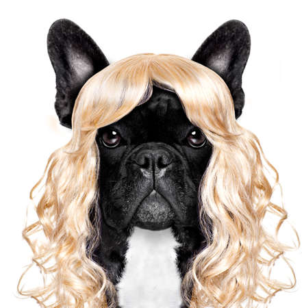 mode: funny crazy silly french bulldog dog wearing a blonde curly wig for mardi gras carnival or just for fun party, isolated on white background