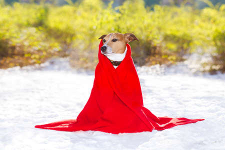 wall paper: jack russell dog, outside freezing and shivering with a red blanket  , winter snow and cold blanket  , winter snow and cold