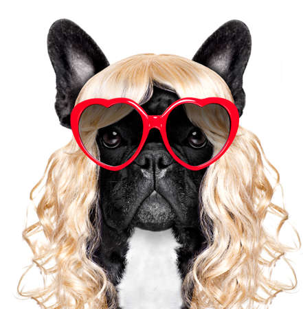 funny crazy silly french bulldog dog wearing a blonde curly wig for mardi gras carnival or just for fun party, isolated on white background, with fancy sunglasses Stock Photo