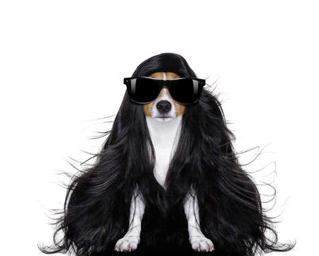 grooming: hairdresser dog ready to look beautiful by comb, scissors, dryer, and spray at the wellness spa salon, isolated on white background with very long hair Stock Photo