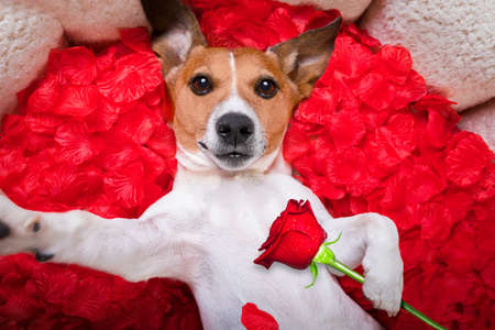 Jack russell  dog looking and staring at you in love  ,while lying on bed with valentines petal roses as background, taking a selfie