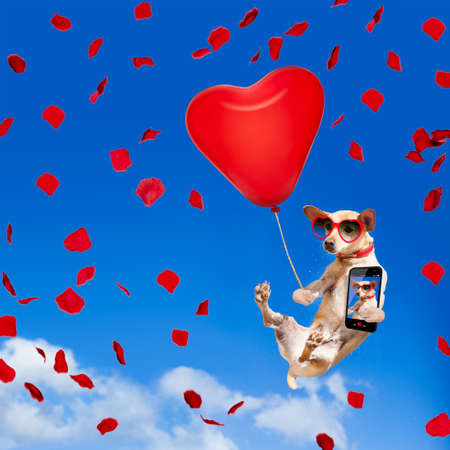 chihuahua dog in love  hanging on balloon, flying and gliding in the sky in the air, while being cool with valentines day rose and balloon, taking a selfie with smartphone to share