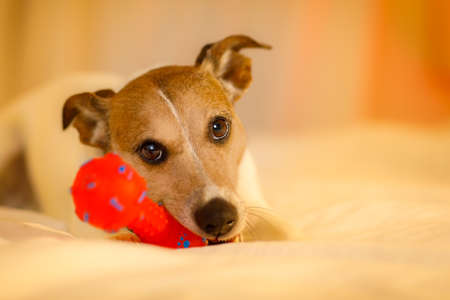 jack russell dog playing with owner in bed , holding red toy or ball , cute and sweet look ,  in bed Stock Photo