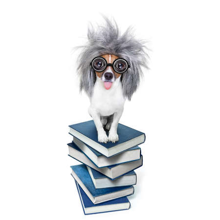 funny glasses: smart and intelligent jack russell dog with nerd glasses sticking out the tongue wearing a grey hair wig on a book stack , isolated on white background