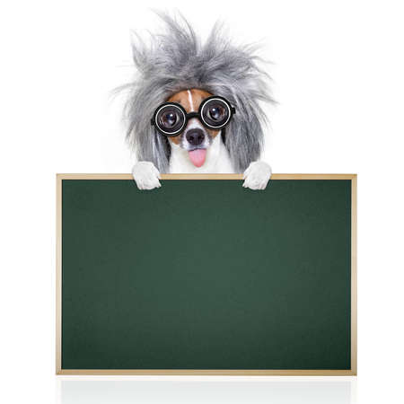 grey: smart and intelligent jack russell dog with nerd glasses sticking out the tongue wearing a grey hair wig beside banner blank blackboard , isolated on white background