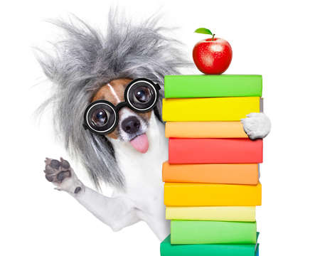 smart and intelligent jack russell dog with nerd glasses sticking out the tongue wearing a grey hair wig holding  book stack , isolated on white background