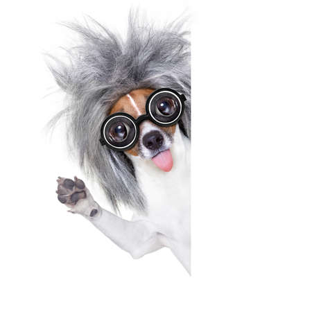 solution: smart and intelligent jack russell dog with nerd glasses sticking out the tongue wearing a grey hair wig beside banner blank , isolated on white background