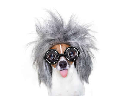 smart and intelligent jack russell dog with nerd glasses  wearing a grey hair stikcing out the tongue , isolated on white background Stock Photo