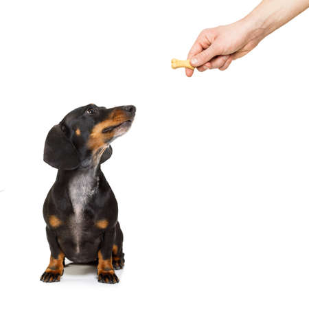hand: hungry dachshund sausage dog , for a treat  by his owner , isolated on white background for a meal or food