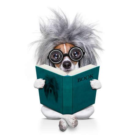 educadores: Inteligente e inteligente gato russell perro con gafas nerd llevaba una peluca de pelo gris leyendo un libro, aislado en fondo blanco