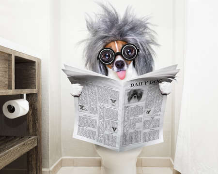 smart dumb  jack russell terrier, sitting on a toilet seat with digestion problems or constipation reading the gossip magazine or newspaper Stock Photo