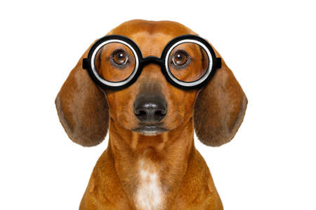 funny glasses: dumb nerd silly dachshund sausage dog wearing funny  glasses , isolated on white background