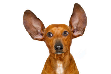 communicating: dachshund or  sausage dog listening with both  ears very carefully , isolated on white background