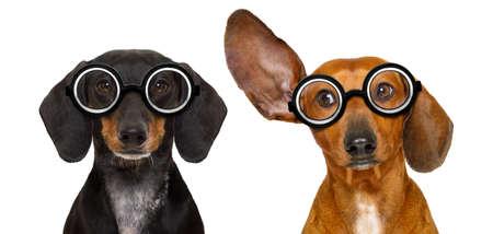 obediencia: Pareja de tonto silbido dachshund perro de salchicha con gafas divertidas nerd, aislado en fondo blanco, mirando al lado y escuchando