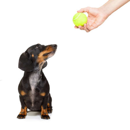 dachshund or sausage dog waiting for owner to play with tennis ball and go for a walk with leash