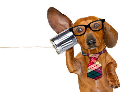contact: boss or business dachshund or  sausage dog listening with one ear very carefully on the tin phone or telephone, isolated on white background