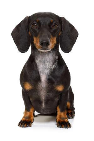 Sentado y obediente dachshund o perro de salchicha mirando al propietario, aislado en fondo blanco