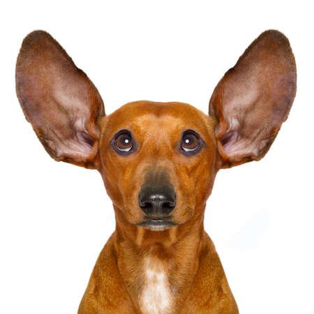 escuchar: Dachshund o perro salchicha escuchando con las dos orejas con mucho cuidado, aislado sobre fondo blanco