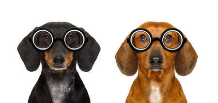 face to face: couple of dumb  silly dachshund sausage dogs wearing funny nerd glasses , isolated on white background, Stock Photo