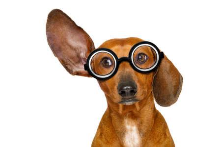 gente comunicandose: Dachshund o perro de salchicha escuchando con una oreja con mucho cuidado, aislado sobre fondo blanco, con gafas nerd