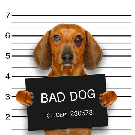 jail: dachshund sausage dog holding a police department banner , as a mugshot photo, at police office