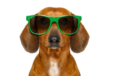 dumb nerd silly dachshund sausage dog wearing funny green sunglasses , isolated on white background Stock Photo