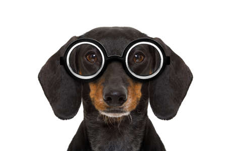 face to face: dumb nerd silly dachshund sausage dog wearing funny  glasses , isolated on white background