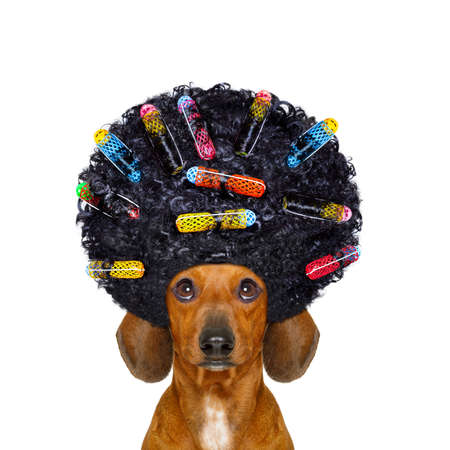 scissors: dachshund or sausage dog  with hair rulers  afro curly wig  hair at the hairdresser , isolated on white background