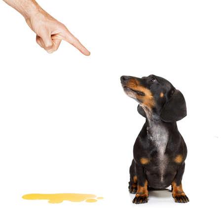 obediencia: Dachshund perro de salchicha que se castiga por orinar o pis en casa por su propietario, aislado en fondo blanco Foto de archivo