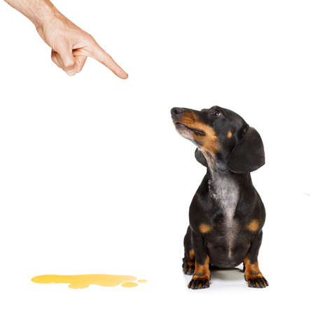 dachshund  sausage dog being punished for urinate or pee  at home by his owner, isolated on white background Stock Photo