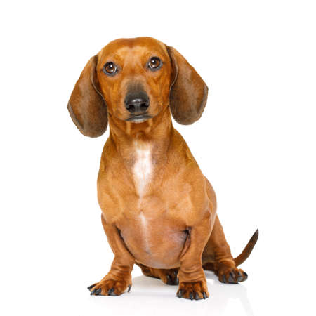 domestic: sitting and obedient dachshund or sausage dog looking to owner , isolated on white background