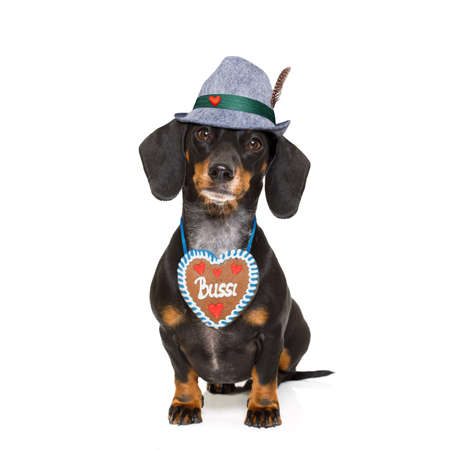 beerfest: bavarian dachshund or sausage  dog with  gingerbread , isolated on white background , ready for the beer celebration festival in munich,
