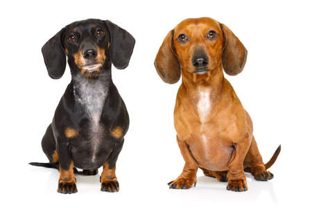 sitting and obedient couple of two dachshund or sausage dogs looking to owner , isolated on white background