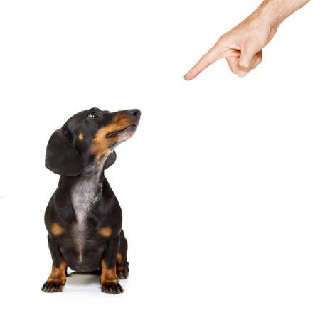 Dachshund o perro de salchicha que es castigado por el dueño para el comportamiento muy malo, con el dedo que señala al perro