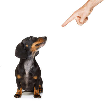 dachshund or sausage dog being punished by owner for very bad behavior , with finger pointing at dog Stock Photo