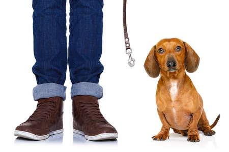 obediencia: Dachshund o perro de salchicha de espera para el propietario para jugar e ir a dar un paseo con correa, aislado en fondo blanco