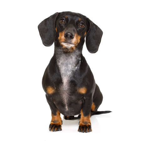 wait: sitting and obedient dachshund or sausage dog looking to owner , isolated on white background
