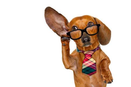 Baas of bedrijfsdachshund of worst hond luisteren met een oor zeer voorzichtig, geïsoleerd op een witte achtergrond Stockfoto
