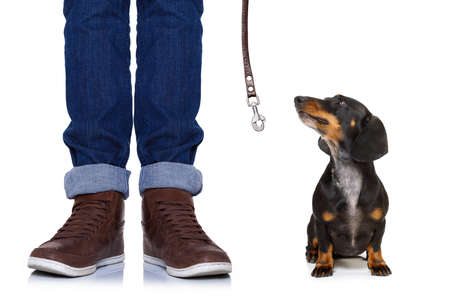 dachshund or sausage  dog waiting for owner to play  and go for a walk with leash, isolated on white background