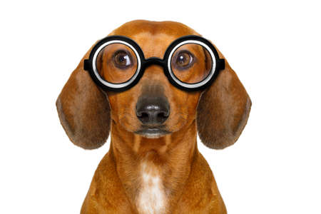 dumb nerd silly dachshund sausage dog wearing funny  glasses , isolated on white background, looking to the side
