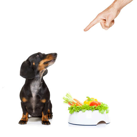 dachshund or sausage dog waiting for owner with healthy  vegan food bowl, isolated on white background, owner pointing out or punishing Stock Photo