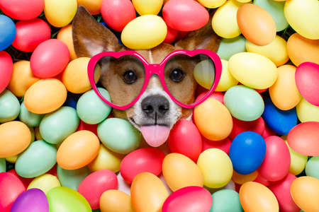 funny animal: funny jack russell easter bunny  dog with eggs around on grass as background, sticking out tongue with sunglasses