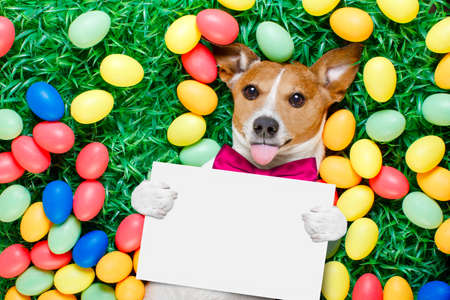 funny jack russell easter bunny  dog with eggs around on grass sticking out tongue holding blank empty  blackboard or banner