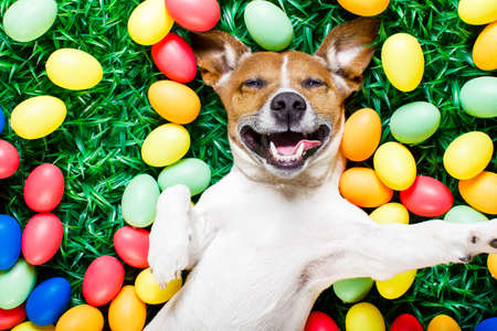 funny jack russell easter bunny  dog with eggs around on grass laughing taking a selfie with smartphone Stock Photo