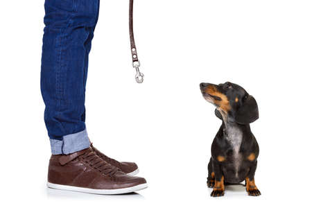white: dachshund or sausage  dog waiting for owner to play  and go for a walk with leash, isolated on white background